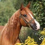 Portrait of nice arabian horse Royalty Free Stock Photo