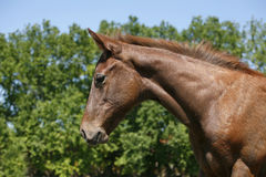 Portrait of nice bay  baby horse Royalty Free Stock Image