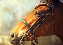 Portrait of nice bay dressage horse in bridle Stock Photo