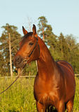 Portrait of nice bay horse Stock Photos
