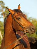 Portrait of nice bay horse Royalty Free Stock Photo