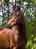 Portrait of nice bay horse Stock Photo