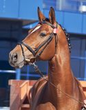Portrait of nice bay horse at blue background Royalty Free Stock Photo