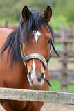 Portrait of a nice bay horse in the corral. Head shot of a beautiful brown horse in the pinfold Stock Image