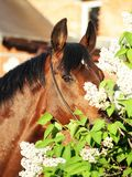 Portrait of nice bay horse near the flowers Royalty Free Stock Photography