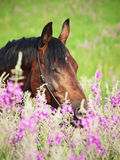 Portrait of nice  bay stallion around pink flowers Stock Photos