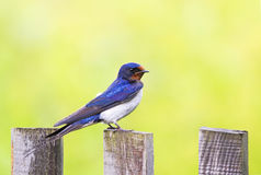 Portrait of nice bird barn swallow sitting on an old wooden fen Royalty Free Stock Image