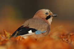 Portrait of nice bird Eurasian Jay, Garrulus glandarius, with orange fall down leaves and morning sun during autumn Stock Photos