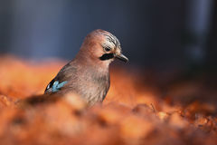 Portrait of nice bird Eurasian Jay, Garrulus glandarius, with orange fall down leaves and morning sun during autumn Royalty Free Stock Photo