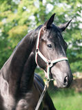 Portrait of  nice  black horse Stock Images