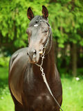 Portrait of  nice  black horse Royalty Free Stock Images