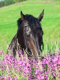 Portrait of nice black horse near the flowers Stock Photos