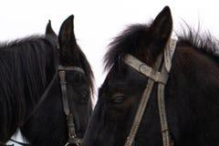 Portrait of nice black pony.two horse heads, black royalty free stock photo