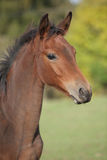 Portrait of brown foal in autumn Royalty Free Stock Photos
