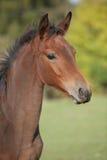 Portrait of brown foal in autumn