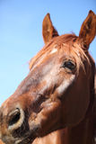 Portrait of nice brown horse. Close-up Stock Photos