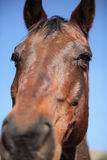 Portrait of nice brown horse. Close-up Stock Images