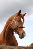 Portrait of nice brown horse in the corral Stock Photography