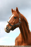 Portrait of nice brown horse in the corral Royalty Free Stock Photography