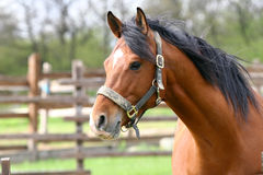 Portrait of nice brown horse in the corral Stock Images