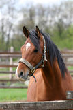Portrait of nice brown horse in the corral. Head shot of a beautiful bay horse in the pinfold Royalty Free Stock Images