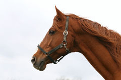 Portrait of nice brown horse in the corral. Headshot of a beautiful brown thoroughbred horse at farm Stock Photo