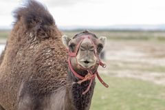 Portrait of a nice camel royalty free stock photos