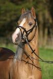 Portrait of nice chestnut pony