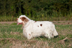 Portrait of nice clumber spaniel Royalty Free Stock Photo