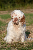 Portrait of nice clumber spaniel Royalty Free Stock Image
