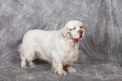 Portrait of nice clumber spaniel Stock Photos