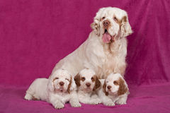Portrait of nice clumber spaniels Stock Images