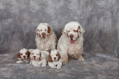Portrait of nice clumber spaniels Royalty Free Stock Photography