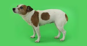 Dog Jack Russell Terrier is afraid of standing and trembling. Portrait nice dog is afraid and trembling. Jack Russell Terrier standing on green background stock video