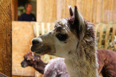 The portrait of the nice fluffy lama in the park. Stock Image