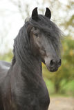 Portrait of nice friesian stallion looking at you