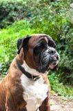 Portrait of nice german boxer dog. Outside Stock Photo