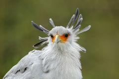 Portrait of nice grey bird of prey Secretary Bird Sagittarius serpentarius, with orange face. Portrait of nice grey bird of prey Secretary Bird Stock Photos