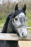 Portrait of nice grey horse in the corral. Head shot of a beautiful horse in the pinfold Stock Photo