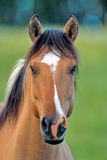 Portrait of a nice Horse Stock Photography