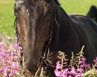 Portrait of nice horse near the flowers closeup. Portrait of beautiful sportive black horse near flowers sunny day Stock Photo