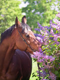 Portrait of nice horse near lilac  flowers Stock Images