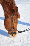 Portrait of nice horse. On a snow Royalty Free Stock Images
