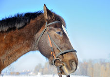 Portrait of nice horse Stock Images