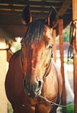 Portrait of nice horse in stable Stock Photos