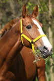 Portrait of nice horse with yellow halter Stock Image