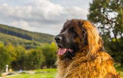 Portrait of a nice Leonberger sitting on a green grass stock images