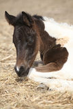 Portrait of nice lying foal Stock Photos