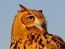 Portrait of a nice Owl stock photos