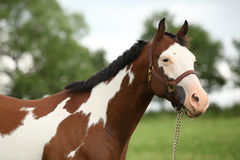 Portrait of nice Paint horse mare Royalty Free Stock Photography